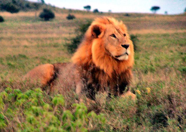File:LionInKenya.jpg