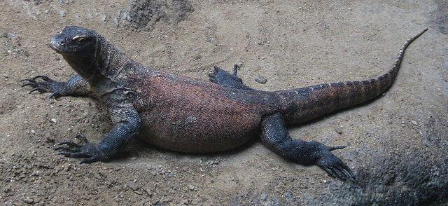 File:Varanus komodoensis.jpg