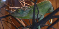 Three-horned Chameleon