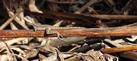 Brown-basilisk-juvenile
