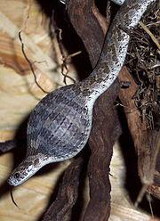 Eierschlange frisst Zwergwachtelei