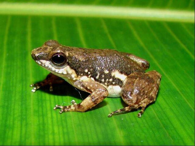 File:Peruvian poison frog.jpg