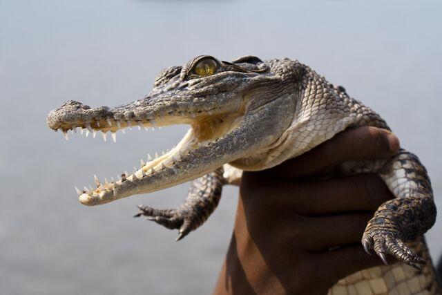File:Saltwater croc 20110706.jpg