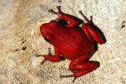Cayo nancy dart frog