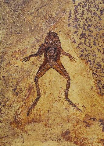 File:Messelobatrachus Fossil.jpg