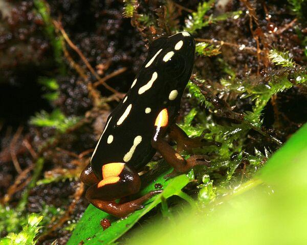 File:Adelphobates Castaneoticus 02.jpg