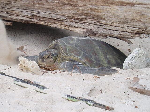 File:Green turtle.jpg