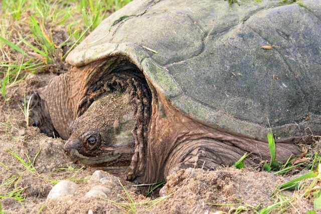 File:Snapping turtle 2 md.jpg