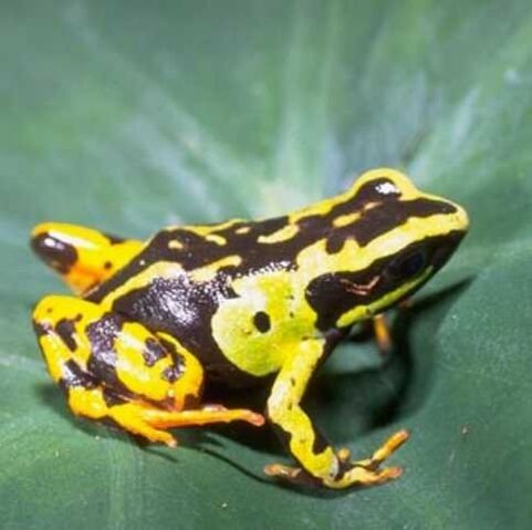 File:Madagascariensis.jpg