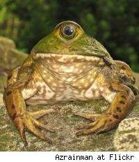 File:Freaky-frogs-grotesquely-deformed-amphibians.jpeg