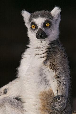File:RingTailed Lemur3.jpg