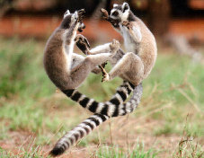 File:Ring-tailed lemurs fighting.jpg