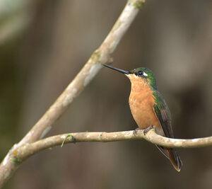 Brazillian.r.h.female