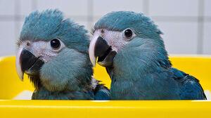 Spix's macaw juveniles