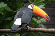 Toco toucan-167157