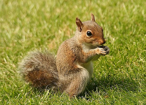 File:Squirrel-5.jpg