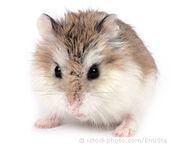 Roborovski hamster 000003009208X