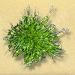 Green Fowl-grass