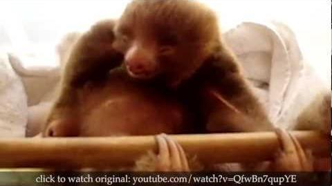 True Facts About Sloths