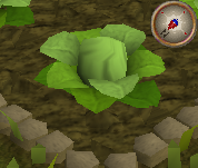 File:Cabbage4.png