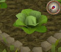 Cabbage3.png