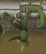Jade vine branch pruning stage 5