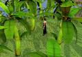 Picking bananas.png