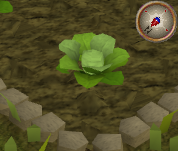 File:Cabbage2.png