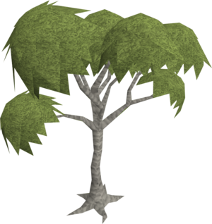 Eucalyptus old