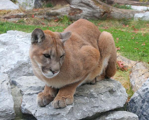 File:Cougar 25.jpg