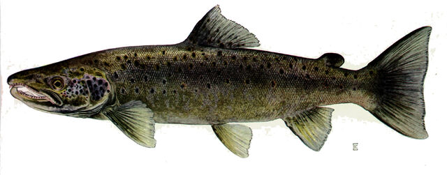 File:Atlantic salmon.jpeg