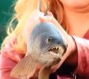 Kansas Razorback Tuna