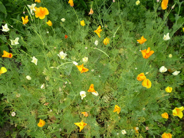 File:Eschscholzia californica 0.3 R.jpg