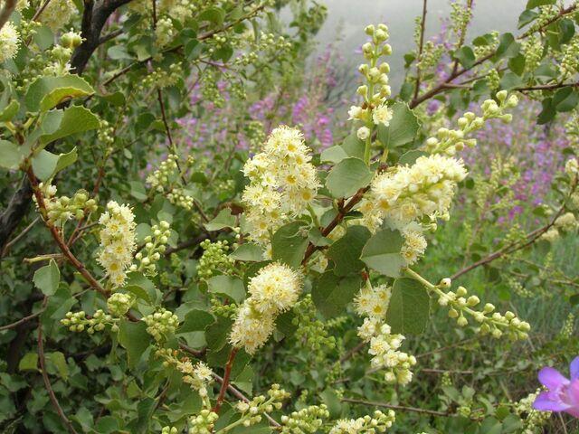 File:Prunus ilicifolia2 LytleCreek.jpg