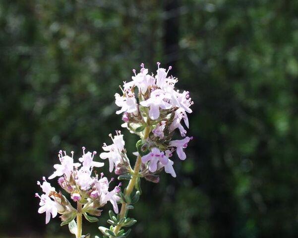 File:Thymus vulgaris10.jpg