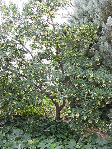 File:Arbutus unedo - tree.jpg