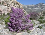 Cercis occidentalis red rock canyon