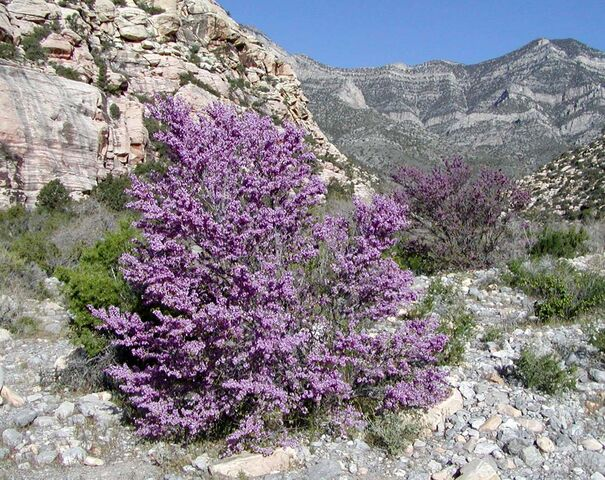File:Cercis occidentalis red rock canyon.jpg