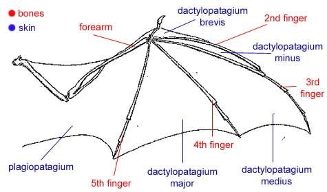 File:Bat wing.jpg