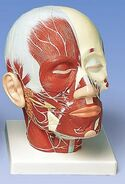 Anatomy head model