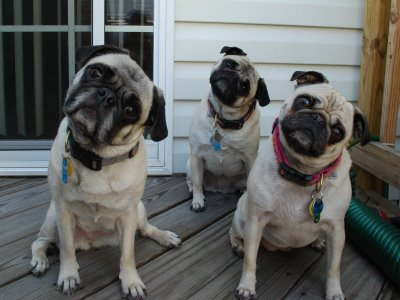 File:Pugs tilting heads.jpg