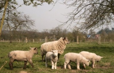 File:Lambs2.JPG