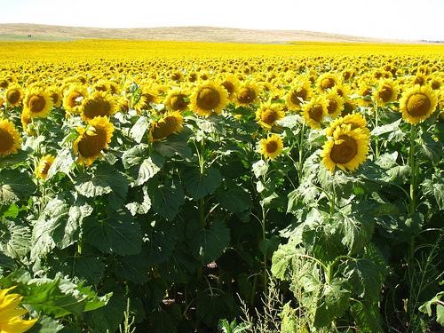File:Sea of sunflowers.jpg