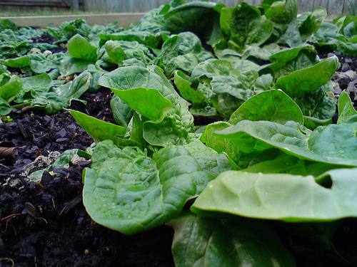 File:Spinach in the winter.jpg