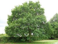 1. English Oak (Quercus robur)