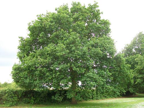 File:1. English Oak (Quercus robur).jpg