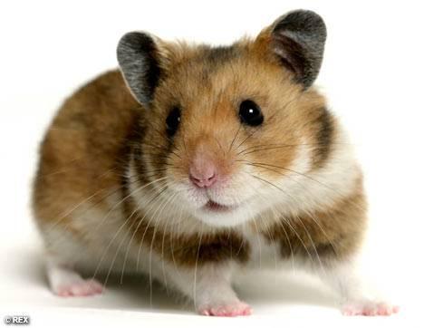 Datei:Hamster.jpg
