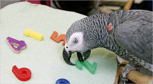File:12. Alex the grey parrot (Smarts).jpg
