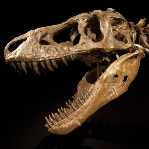 File:Tarbosaurus skeleton Cropped.jpg