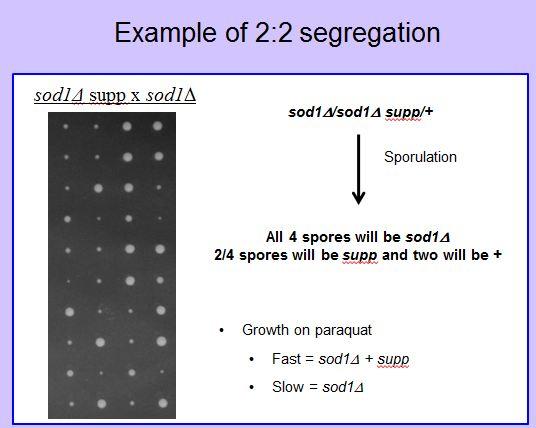 File:3. 2to2 segregation.jpg